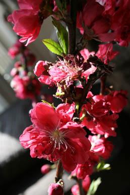 59 桃の花.jpg